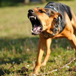 dangerous dog barking aggressively